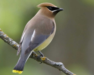 Cedar waxwings are visiting our neighborhood right now.